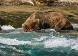 The bears often put their heads underwater to look for the fish. Doesn't that water look refreshing?