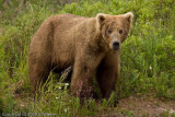 Just a beautiful bear.
