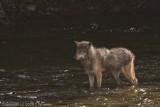 A wolf we saw at Brooks Falls
