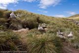 Albatross rookery
