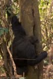 chimpanzee fishing for termites