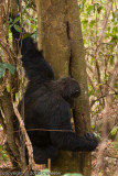 Chimpanzee sticking his twig into the hole in the tree to get termites