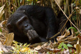 Chimpanzee, The Thinker