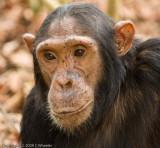 Chimpanzee, Caesar