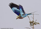 My best flying Lilac Breasted Roller shot so far. Not good enough to quit trying. :)