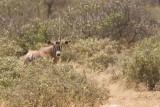 Oryx or Gemsbok