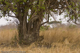 Flat cats (sleeping lions haha) all around the tree and there is a little cub inside the tree