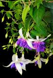 fuchsia Deep Purple 01