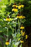 sunflowers 03
