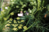 fennel blossoms 3