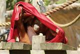 Borneo Orangutan Mama 02
