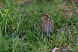 Northern Bobwhite, female