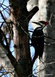Pileated Woodpecker, Female