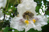 Catalpa Tree Bloom