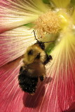 Bee on Hollyhock