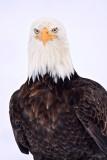 Bald Eagles of Homer, Alaska