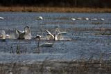 Fighting swans.