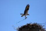 Male bringing in nesting material