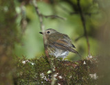 Snowy-browed Flycatcher, immature