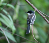 Flycatcher-Shrike