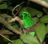 Green Broadbill