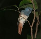 Rufous-winged Philentoma