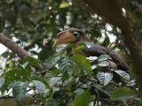 Rusty-cheeked  Hornbill (Brown Hornbill, ticelli)