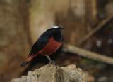 River Chat (White-capped Redstart)
