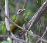 Grey-headed Woodpecker, male