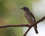 Asian Brown Flycatcher