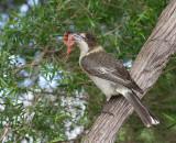 Grey Butcherbird, female