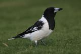 Pied Butcherbird, male