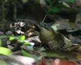 Short-tailed Babbler
