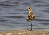 Pacific Plover