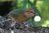 Rusty-naped Pitta