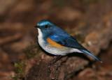 Himalayan Bluetail (Chestnut-flanked Bush Robin)