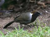 White-necked Laughingthrush