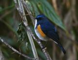 Himalayan Bluetail