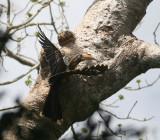 Rusty-cheeked Hornbill (Brown Hornbill)