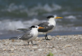 Lesser and Greater Crested Terns