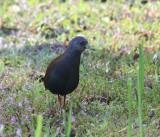 Black-tailed Crake