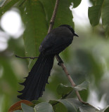Rachet-tailed Treepie