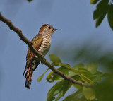 Violet Cuckoo, juvenile