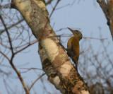 Grey-headed Woodpecker, female