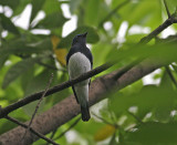 Blue&White Flycatcher