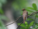 Blue&White Flycatcher, female