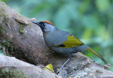 Silver-eared (Chestnut-crowned Laughingthrush)