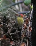 Streak-breasted Woodpecker, male