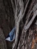 Nut Hatch in the Woods.jpg