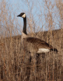Handsome Goose.jpg